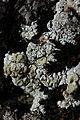 Lichen (44128966922).jpg