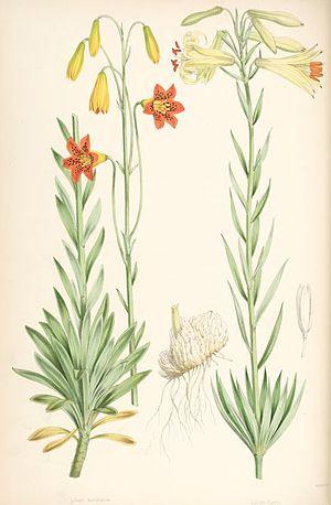 Lilium parryi - Image: Lilium parryi