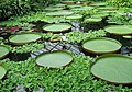 Lily Pond, The Royal Botanic Garden, Edinburgh - geograph.org.uk - 1478241.jpg