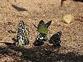 Lime Mudpuddling from Melagiri TN IMG 6340.jpg