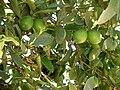 Lime tree limes.JPG
