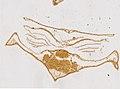 Limulus polyphemus (YPM IZ 098240) 001.jpeg