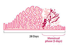 Menstruation - Wikipedia
