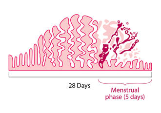 Menstruation - Diagram illustrating how the uterus lining builds up and breaks down during the menstrual cycle.
