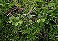 Linnaea borealis kz05.jpg