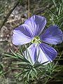 Linum austriacum flora1.jpg