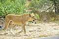 Lion at Kruger National Park, Limpopo, South Africa (20543935125).jpg
