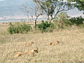 Lioness with Cubs, Ngorongoro Crater.jpg
