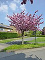 Lippstadt Kirschblüte P1010572 (8708771135).jpg