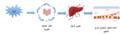 Liver regeneration-ar.png