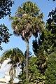 Livistona-chinensis-ak.jpg