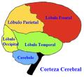 Lobuloscerebrales.PNG