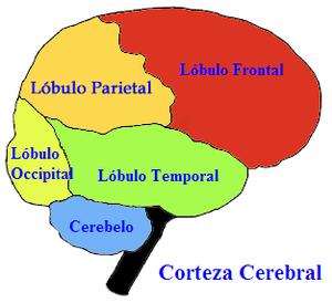 Lóbulos cerebrales.