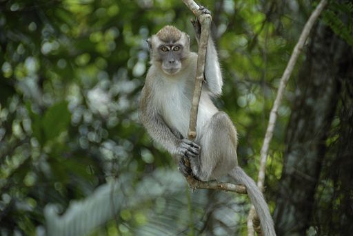 Long-Tailed Macaque (7668280042)