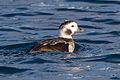 Long-tailed Duck (Clangula hyemalis) (13667635193).jpg