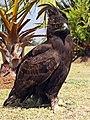 Lophaetus occipitalis-001.jpg