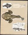 Lophius piscatorius - 1700-1880 - Print - Iconographia Zoologica - Special Collections University of Amsterdam - UBA01 IZ13600187.tif