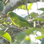 Green parrot with yellow throat