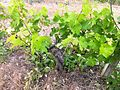 Low bush trained Mourvedre at Red Willow.jpg