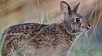 Lower Keys marsh rabbit.jpg