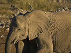 Loxodonta africana - at the waterhole.jpg