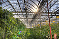 Lufa Farms Montreal rooftop greenhouse.jpg