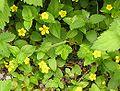 Lysimachia nemorum 2006.07.05 12.13.33-p7050374.jpg