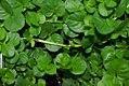 Lysimachia nummularia Aurea 5zz.jpg