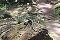Mabuya na trilha.jpg