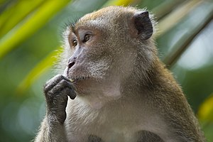 Wildlife of Singapore - A crab-eating macaque, a primate native to Singapore