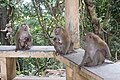 Macaque Monkeys from Monkey Hill, Phuket, Thailand (30980909057).jpg