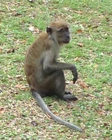 Macaque at bukit timah cropped