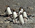 Macaroni Penguins at Cooper Bay, South Georgia (5892433117).jpg