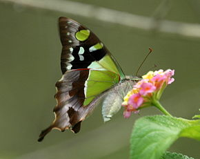 Description de l'image Macleays Swallowtail Lam08.JPG.