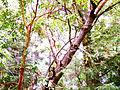 Madrone refrigerator tree.jpg