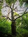Magiczne drzewo - panoramio.jpg