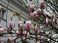 Magnolia Neubad Burtscheid.jpg