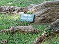 Maimara-Delonix regia-Sri Lanka (3).JPG