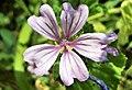 Malva sylvestris flowers in Armenia (3).jpg