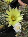 Mammillaria (4876481361).jpg