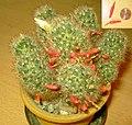 Mammillaria prolifera.jpg