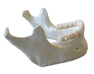 Alveolar part of mandible - Mandible. (Alveolar part not labeled, but is visible below teeth.)