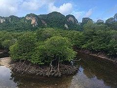 Mangrove Ko Phi Phi Don 2.jpg