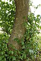Mangrove Trumpet Tree 5121.jpg