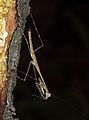 Mantis from Raja Ampat (West-Papua).jpg