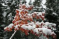 Maple under Snow (10335160114).jpg