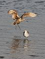 Marbled godwit, Limosa fedoa, Moss Landing (Elkhorn Slough and beach), California, USA. (25305366249).jpg