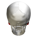 Mastoid process - posterior view.png