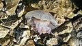 Meduza na obali.jpg