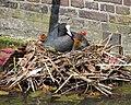 Meerkoet met jongen in nest.jpg